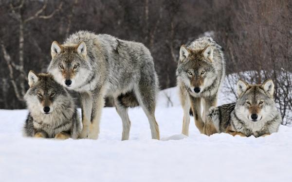 Скачать волчья стая торрент